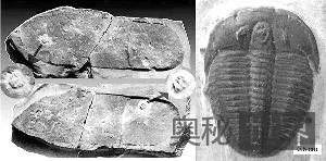 三叶虫化石上的脚印是个骗局