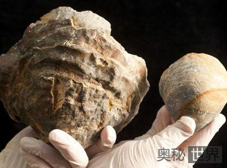 1亿年前牡蛎化石中可能含世界最大珍珠