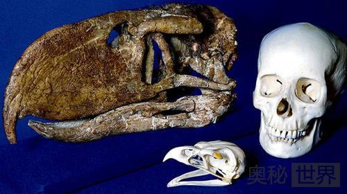 考古发现5000万年前恐怖鸟身高3米