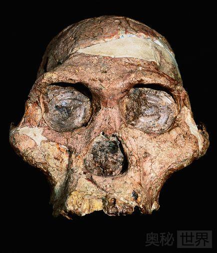 南方古猿非洲种头骨