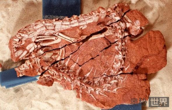 破碎的鳄鱼颅骨化石