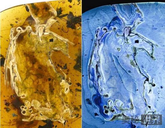 史前一亿年的琥珀中发现完整煎饼鸟标本