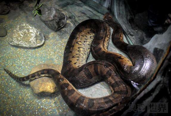 印度古裂口巨蛇