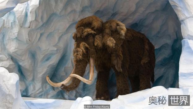 科学家称复活猛犸象任务艰巨:耗时或不止两年