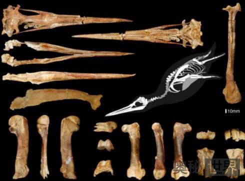 3600万年前的巨型企鹅化石