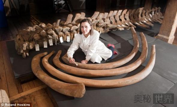 考古发现16米长脊美鲸骨架