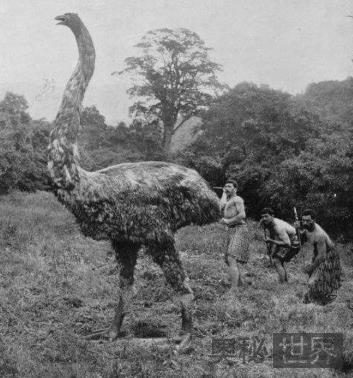 象鸟(17世纪末灭绝)