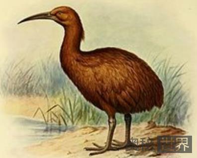 红秧鸡(1700年灭绝)