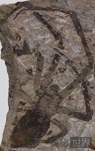 内蒙古发现1.65亿年最大史前蜘蛛化石