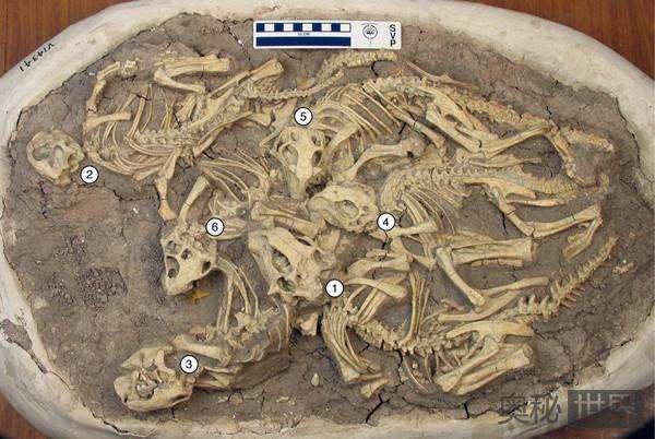 古生物学家破解陆家屯鹦鹉嘴龙的生长奥秘
