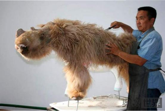 1.4万年前灭绝的披毛犀,出现在1.8万年前的生物肚子里