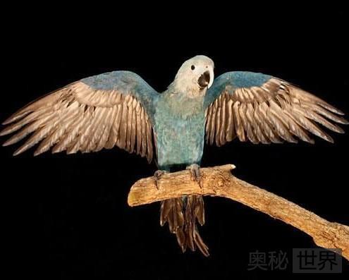 斯皮克斯金刚鹦鹉