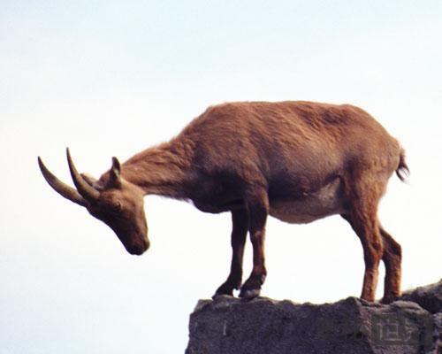 比利牛斯山羊