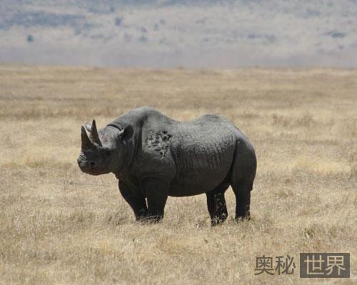 西非黑犀牛