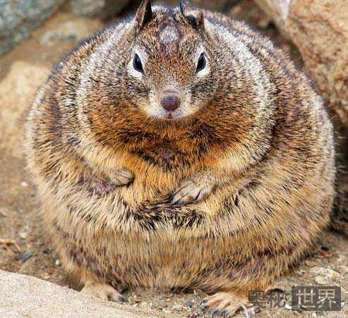 加利福尼亚的胖松鼠