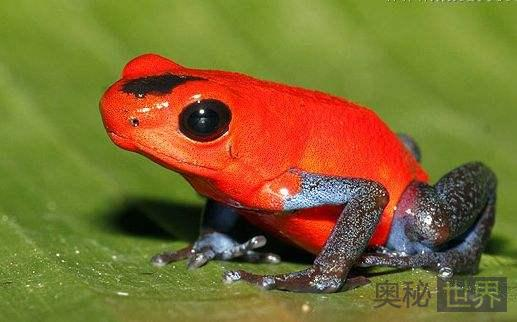 箭毒蛙的天敌是什么