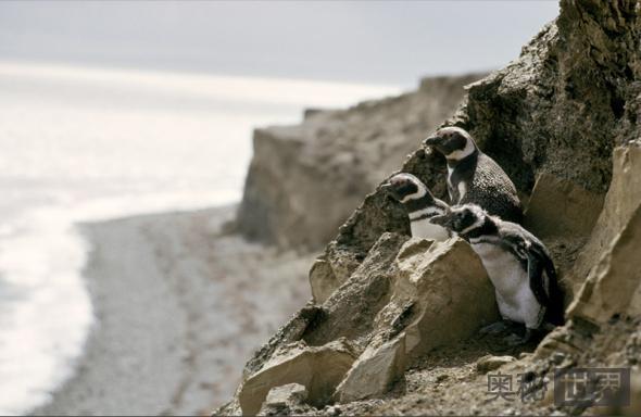 3只麦哲伦企鹅挤作一团