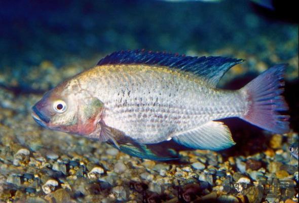 濒临灭绝的鱼