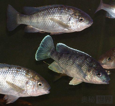 Chambo鱼