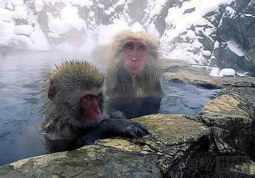 地狱谷温泉:日本雪猴的疗养院
