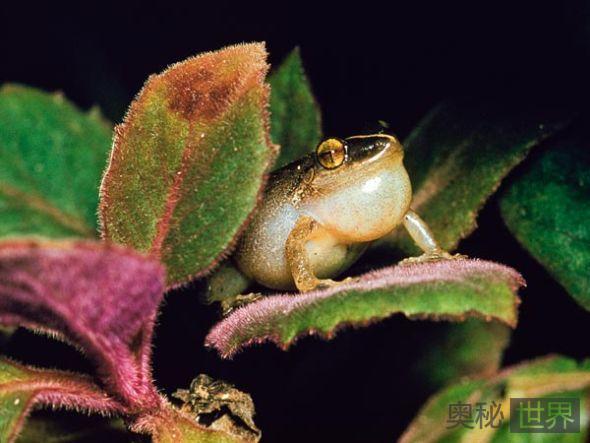 大嗓门的青蛙