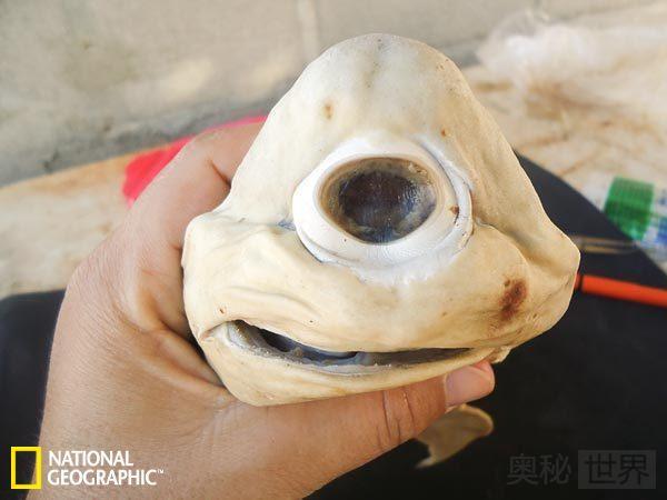 独眼鲨鱼胎儿