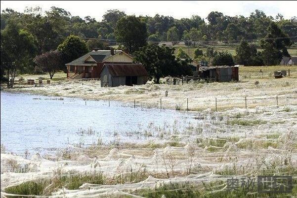 澳大利亚百万蜘蛛迁移壮观景象