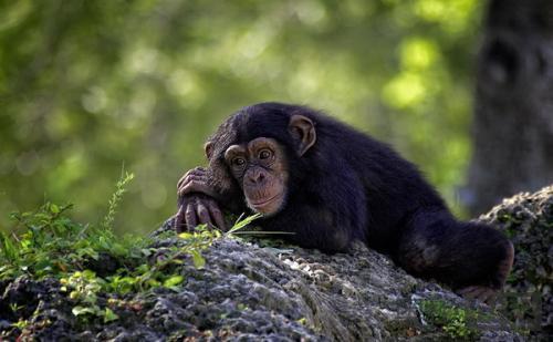 黑猩猩为扩张领土屠戮外族
