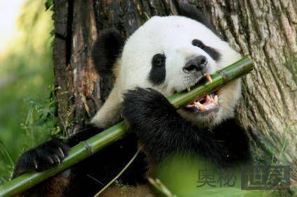 揭秘熊猫为何喜欢吃竹子