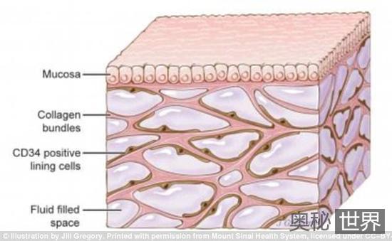 科学家发现遍布全身的人体新器官