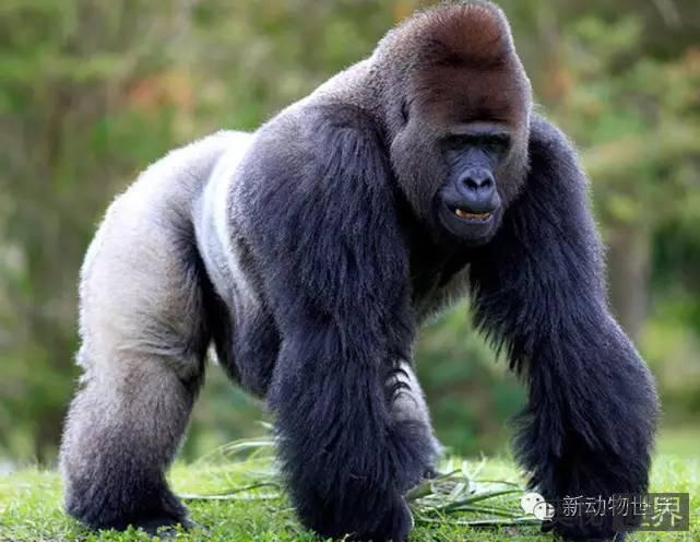 银背大猩猩