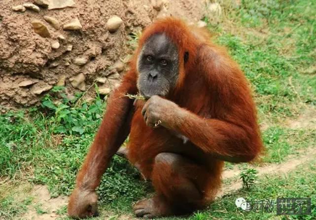 婆罗洲猩猩