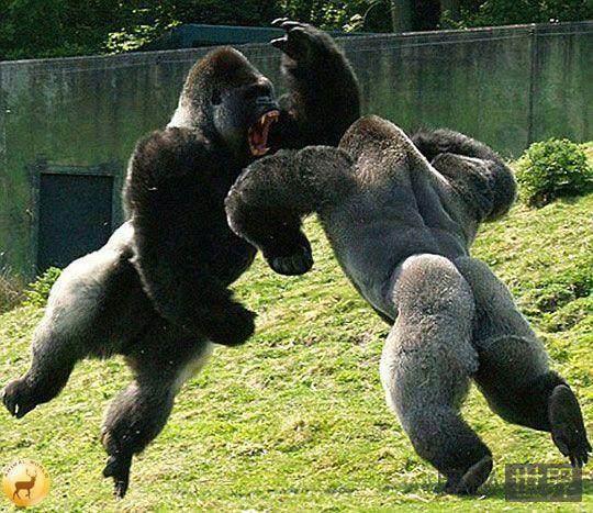 巅峰时期的泰森打得过银背大猩猩吗