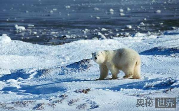 北极熊为什么不冬眠