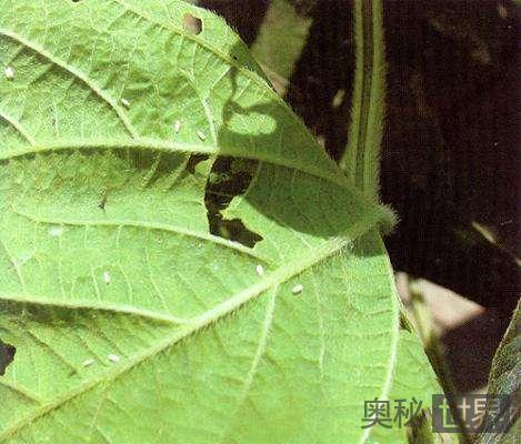 烟粉虱造成的毁灭性危害
