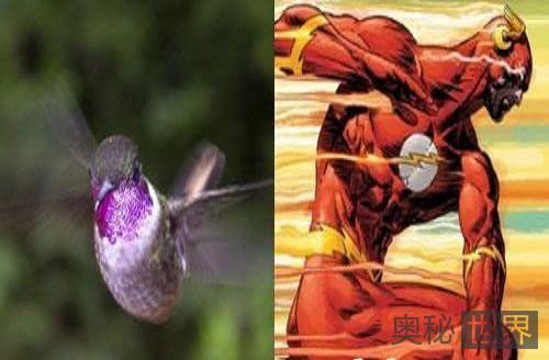 蜂鸟的超级速度