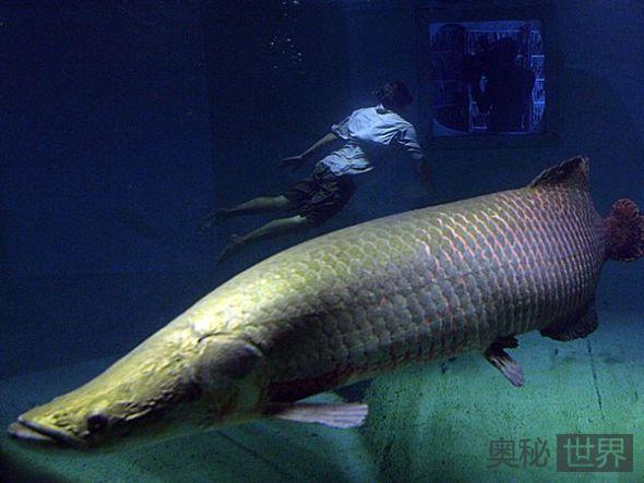 巨型淡水鱼