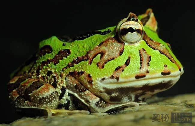 哥伦比亚发现多彩丑角蛙