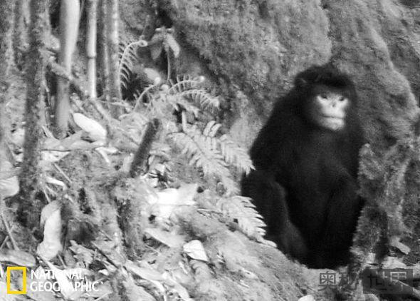 缅甸金丝猴
