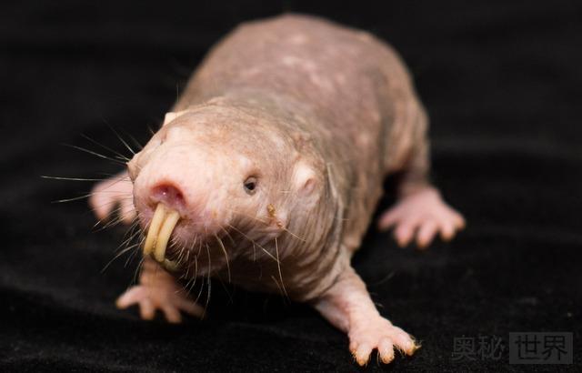 裸鼹鼠:不会衰老不得癌症的神奇动物