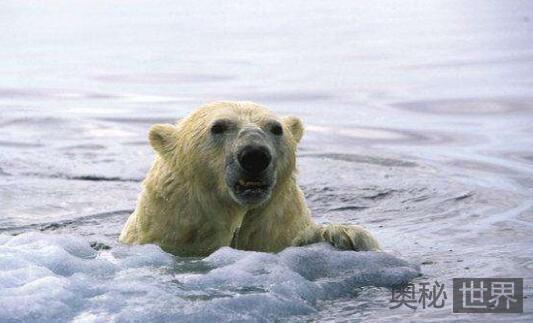 气候变化迫使北极熊等物种前往山丘