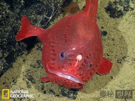 迄今只发现7条的罕见鮟鱇鱼