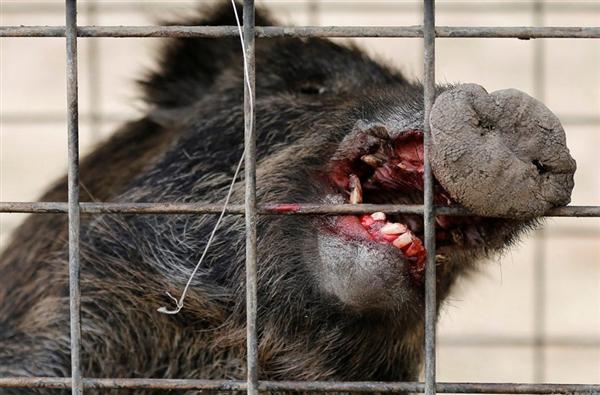 由于辐射影响,这些野猪都发生了变异,所以并不会被食用,而是做毁灭处理,当然这里其它动物、生物也受到了辐射的影响,当你走在园区内,那感觉非常吓人。