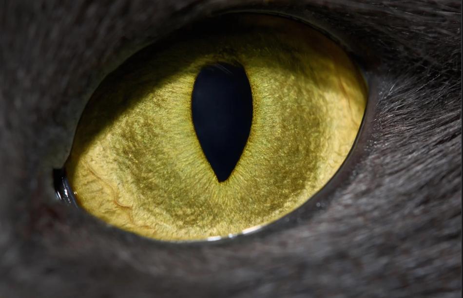 包括猫在内的许多夜行性伏击掠食者都具有垂直狭缝状的瞳孔。研究发现,这种瞳孔能帮助掠食者以最快的速度计算出与猎物之间的距离。测量这段距离至关重要,因为掠食者可以据此决定需要跳出多远才能捕捉到猎物。