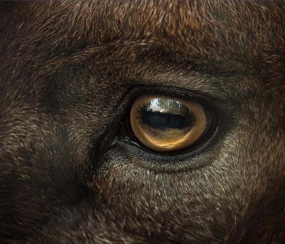 山羊具有独特的四方形眼睛,为什么?答案在于生存。山羊的奇特瞳孔或许能帮助它们发现远处的掠食者。