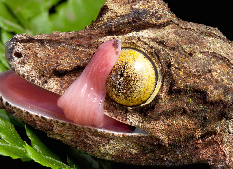 叶尾守宫眼睛里的大理石花纹令人叹为观止。据美国史密森尼国家动物园和史密森尼保护动物学研究所称,这些眼睛通常具有金色、银色或棕色的背景,瞳孔周围覆盖着同心条纹。壁虎通过快速舔舌头来清洁宝石般的眼球——无论是没有眼睑或是覆盖着透明眼睑。