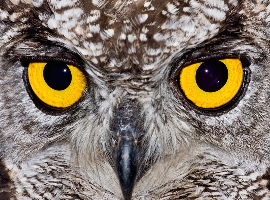 猫头鹰以出色的视力为人所知。这些猛禽的眼睛像管状望远镜一样,具有大量的视杆细胞——能敏锐感知黑白的感光细胞,能帮助它们在朦胧的傍晚和夜间捕猎。猫头鹰还具有类似猫科动物的照膜结构,能将可见光反射回视网膜,帮助它们在夜间看到物体。