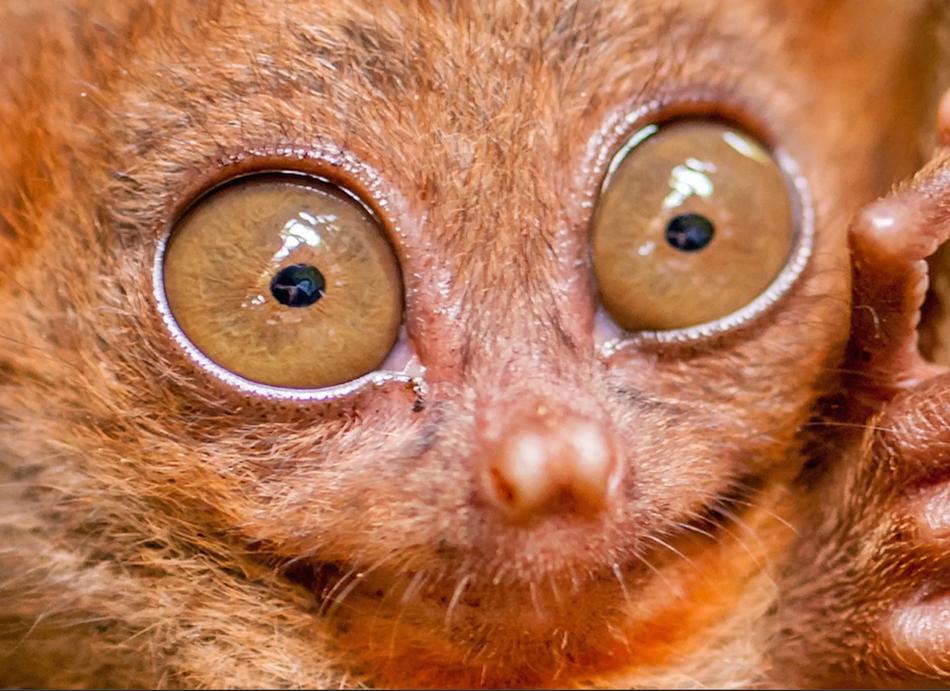 眼镜猴的眼睛非常大,甚至每只眼睛的大小都跟它们的脑容量差不多。造就这一奇特特征的原因之一是:灵长类动物在夜间看不到物体(不像具有照膜结构的猫头鹰和猫科动物),因此需要大眼睛才能使光线充足。