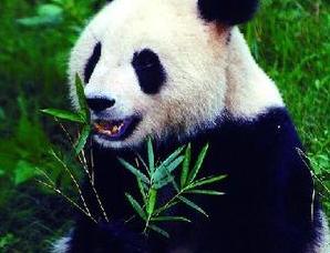 为什么大熊猫只有黑白两色